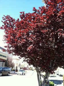 1. Tree outside the Safeway in Payson. I'm a sucker for red leaves.